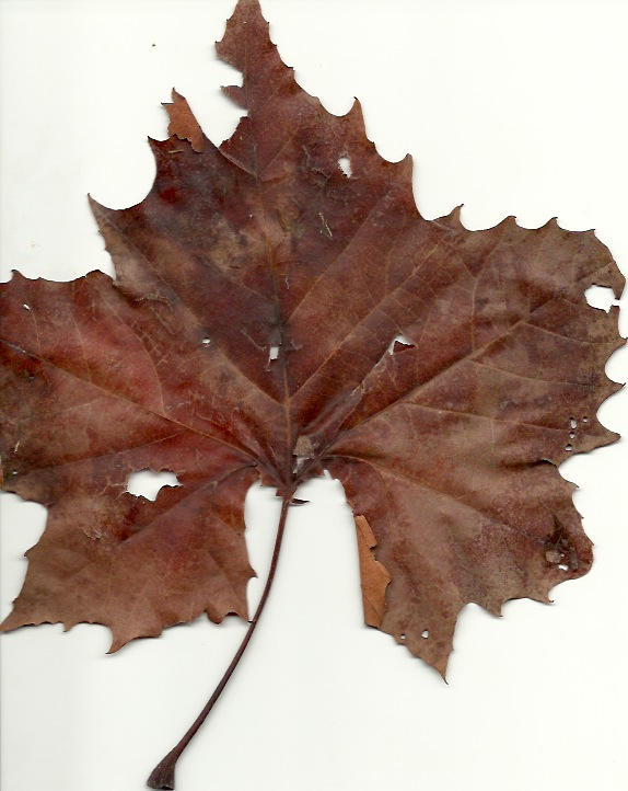 Individual Sycamore leaf showing the shape and fall color