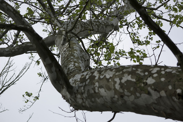 The main branches of sycamores can be huge and contorted.