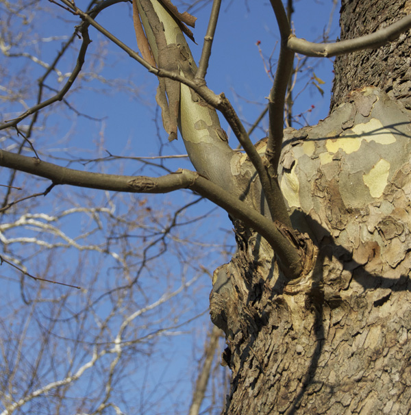 Branch juncture at main trunk